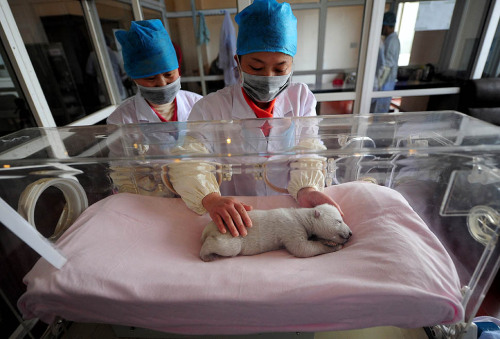 20 day old polar bear born at the Ocean Aquarium of Penglai, China.