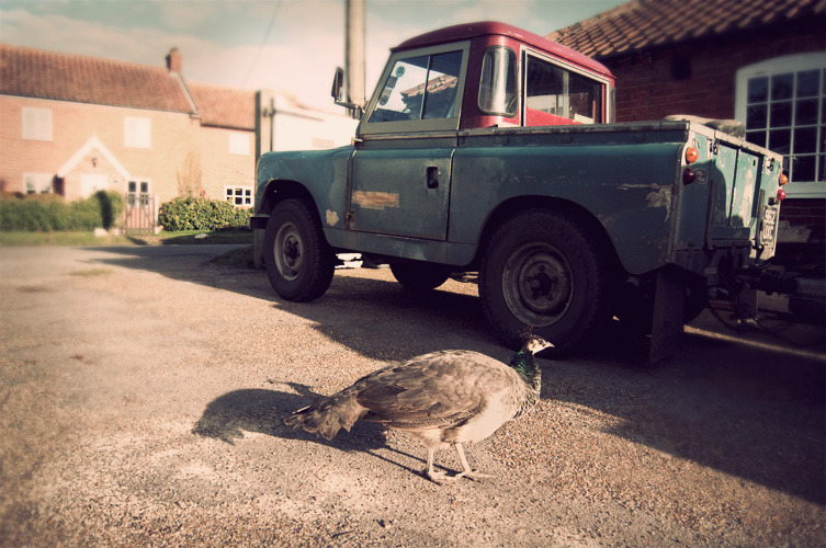 panzerwraith:  Douglas and a Peahen.Jan 2012.