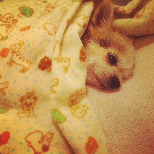 #chorkie #chihuahua #dog  (Taken with instagram)
