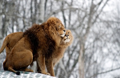 fuckyeahhlions:  Brothers in winter