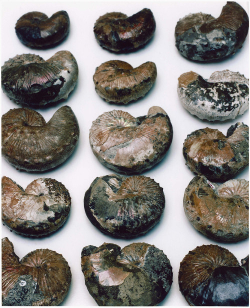 amnhnyc:  Ammonites from the Museum's collection  Can't stop—so much greatness from AMNH.