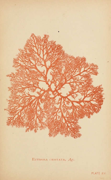 scientificillustration:  From: Sea mosses Boston,B. Whidden,1893. biodiversitylibrary.org/page/23602926