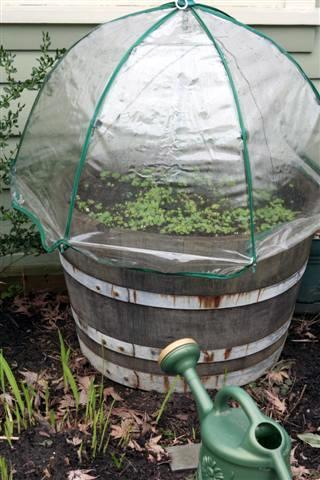 Great idea for a simple greenhouse garden, using an old clear plastic umbrella. Keeps the birds out of your garden until plants are strong and sturdy.  via Dee Nash on Pinterest.