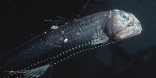 Pacific Viperfish.  Are we still giving R.L. Stein work?