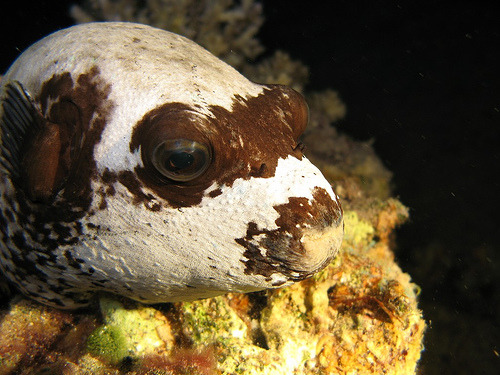 Masked Pufferfish | Arothron diadematus (by divemecressi)