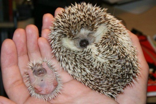 """We treated the hedgehog on the right with Hedgie-Gro™ brand Hedgehog Chow; the hedgehog on the left, another leading brand. And just look at the difference!"" (via Experience the Hedgie-Gro™ Difference! — Cute Overload)"