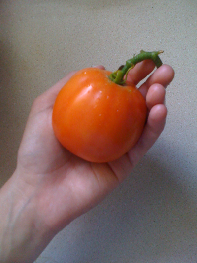 greenthumbjourney:  My first tomato ever, plucked from the vine this morning!