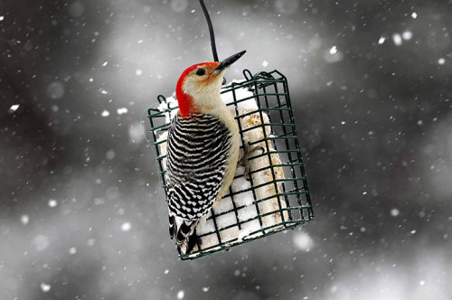 Nyack, New York, US: A Red-bellied woodpecker perches on a suet feeder  during a winter storm Photograph: Mike Segar/Reuters (via 24 hours in pictures | News | guardian.co.uk)
