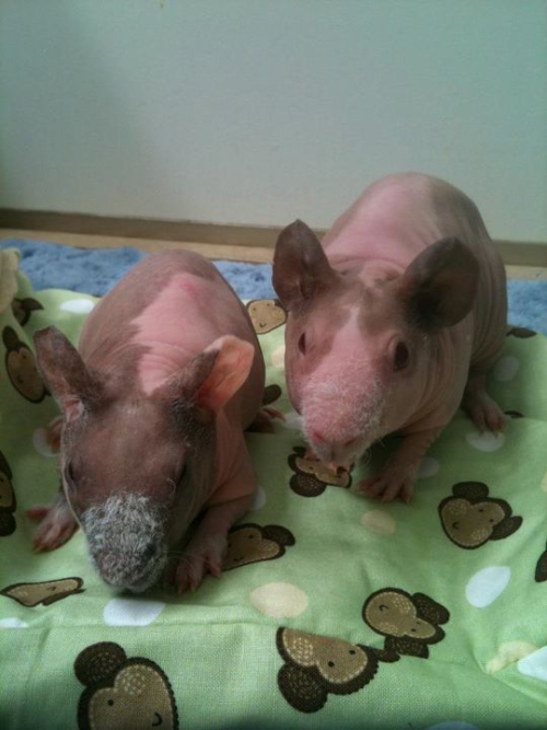 PIGTURE OF THE DAY: nekkid babies!!  New foster piggies…two more skinny pigs!! They are little pink baby sisters from the same hoarding rescue our previous trio came from. We need to fatten them up so they can get safely spayed in a few months. Welcome Ellette and Suzette!! :)