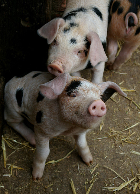 magicalnaturetour:  Piglet by Daveybot on Flickr. :)   They're so cute. Then they're bacon…