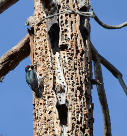 "allcreatures:  A granary woodpecker stores thousands of nuts in holes in a tree at Stanford University in California. The busy birds spend their time boring holes in granary trees, before carefully slotting the nuts into them. Photographer Michael Yang said: ""They carefully pick acorns from oak trees and fly them to nearby storage/granary trees which sometimes hold up to 50,000 acorns. Some of the trees have so many holes that you can see right through the trunk and limbs! In some places, it looks like the tree is about to snap in two."" Picture: Michael Yang/Rex Features (via Pictures of the day: 24 January 2012 - Telegraph)"