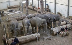 awww  allcreatures:  A herd of elephants say goodbye to Lola the dead elephant calf at Hellabrunn Zooin Munich, Germany. A baby elephant who tragically died at a German zoo was brought back to her herd so they could say goodbye. Lola, a three month old elephant, died on 21 January during a CT scan ahead of an operation to fix a serious heart defect. Lola's body was brought back to the herd so that her mother, Panang (22), could say farewell. Afterwards the herd gently nuzzled the lifeless body with their trunks and took their leave of her. Picture: Animal Press / Barcroft Media (via Pictures of the day: 24 January 2012 - Telegraph)