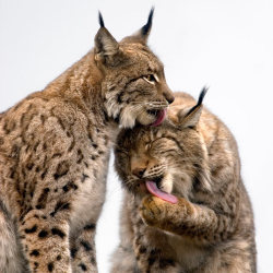 allcreatures:  A pair of Boreal lynx groom each other on a rocky hilltop at the Cabarceno wildlife park in Villaescusa, Spain… Picture: Marina Cano / Barcroft Media (via Pictures of the day: 24 January 2012 - Telegraph)