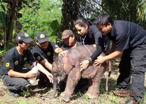 Abandoned Borneo baby pygmy elephant rescued in Malaysia. story