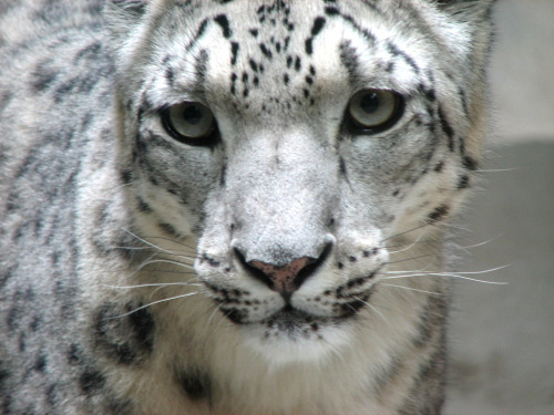 laboratoryequipment:  Stem Cells May Save Endangered Snow LeopardsThe survival of the endangered snow leopard is looking promising thanks to Monash Univ. scientists who have, for the first time, produced embryonic stem-like cells from the tissue of an adult leopard. Never before have induced pluripotent stem (iPS) cells, which share many of the useful properties of embryonic stem cells, been generated from a member of the cat family. The breakthrough raises the possibility of cryopreservation of genetic material for future cloning and other assisted reproduction techniques.Read more: http://www.laboratoryequipment.com/news-Stem-Cells-May-Save-Endangered-Snow-Leopards-012412.aspx