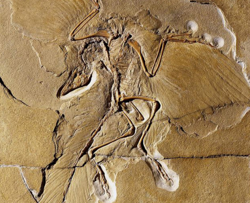 Was First Winged Dinosaur Jet Black? The winged dinosaur Archaeopteryx,  which may represent the missing link in birds' evolution to powered  flight, had at least some jet-black feathers, according to new research  published today in Nature Communications. Aside from creating more of a cool visual for this raven-sized animal, the discovery suggests that Archaeopteryx could  fly, since the color and parts of cells that would have supplied the  black pigment are evidence that the wing feathers were rigid and  durable. These are traits that probably would have permitted flight. keep reading