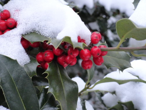 The English Holly in my backyard looks great in the snow! (But it won't be long until the birds have eaten all the berries…)