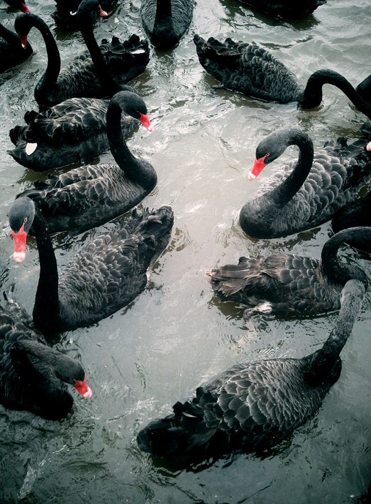 goldenlocket:  Black swans.