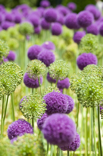 ionwkathy:  purple allium (by mhodges)