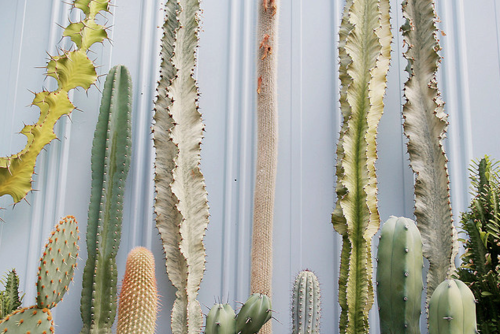 sonorensis:  Sun burned cacti and succulents