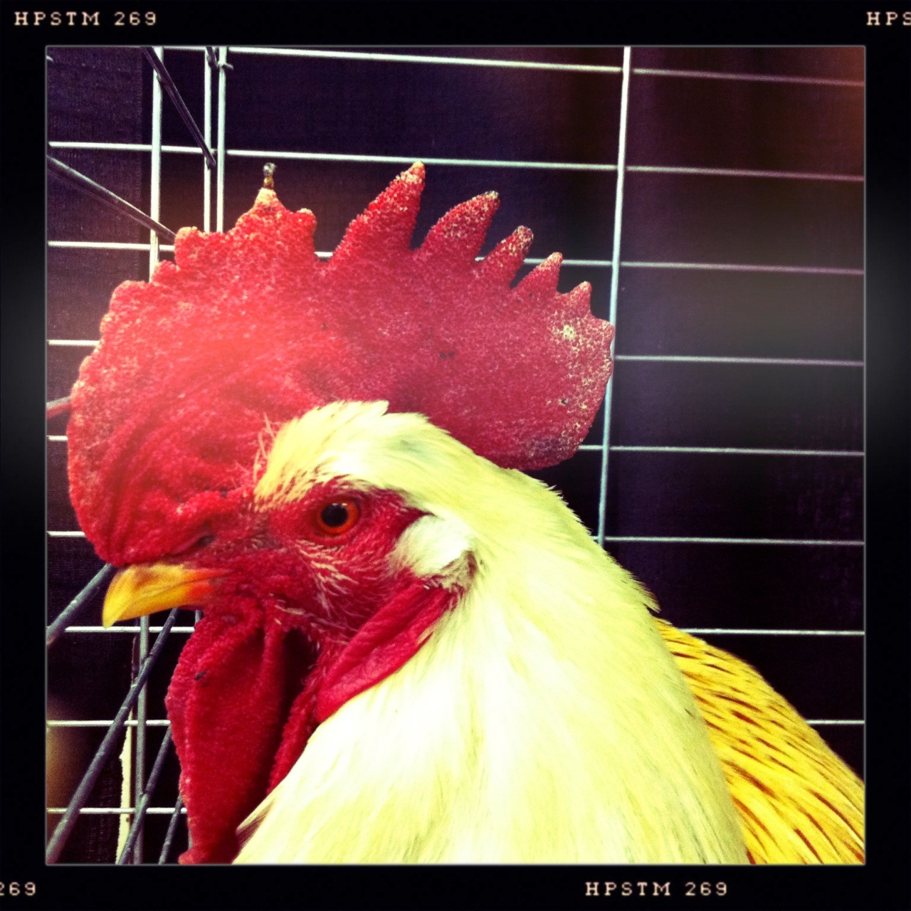 Rooster Taken with Hipstamatic, Chunky Lens, Pistil Film, No Flash.