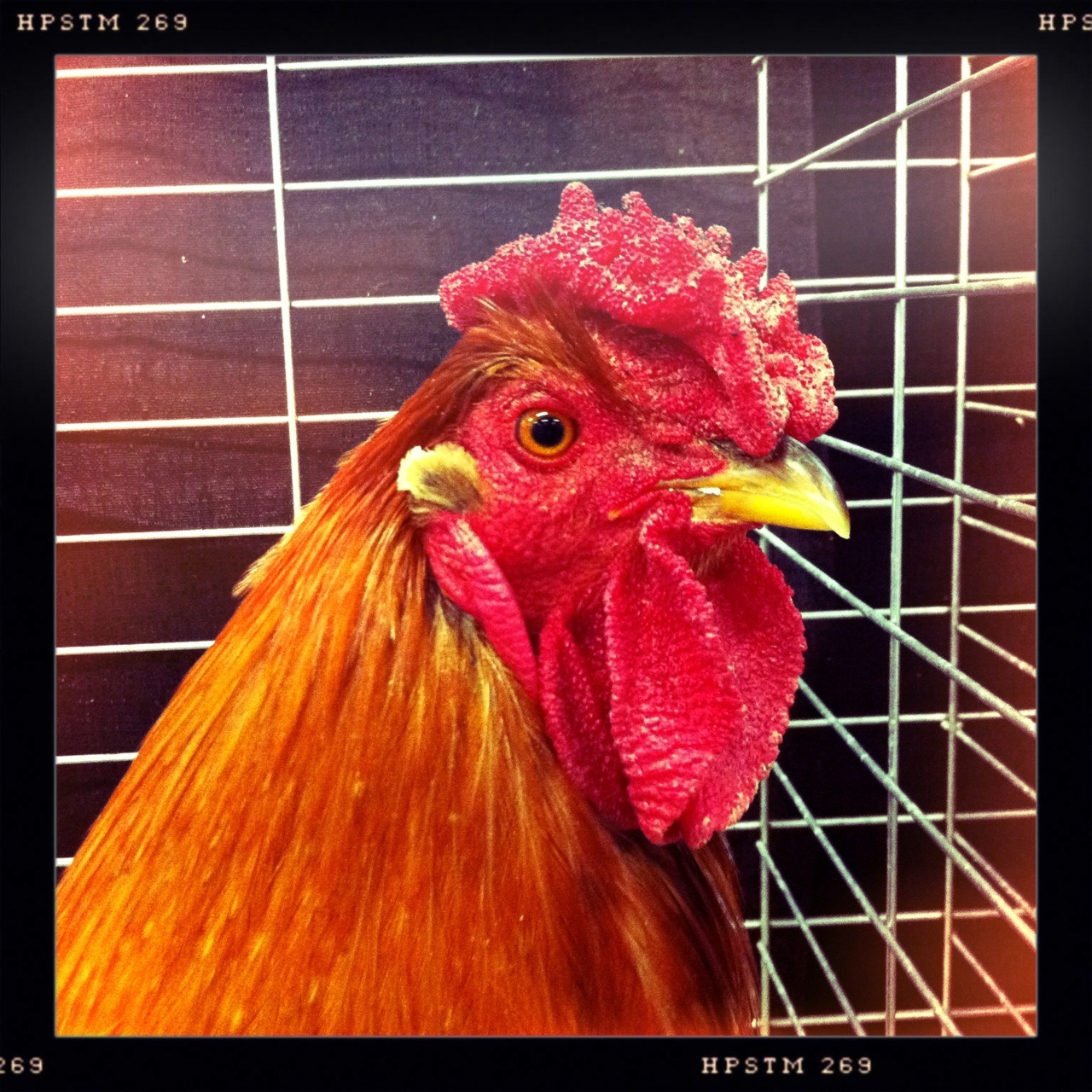 Other Rooster Taken with Hipstamatic, Chunky Lens, Pistil Film, No Flash.