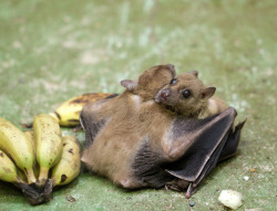 rhamphotheca:  digitalash: omg fruit bat hugs :3