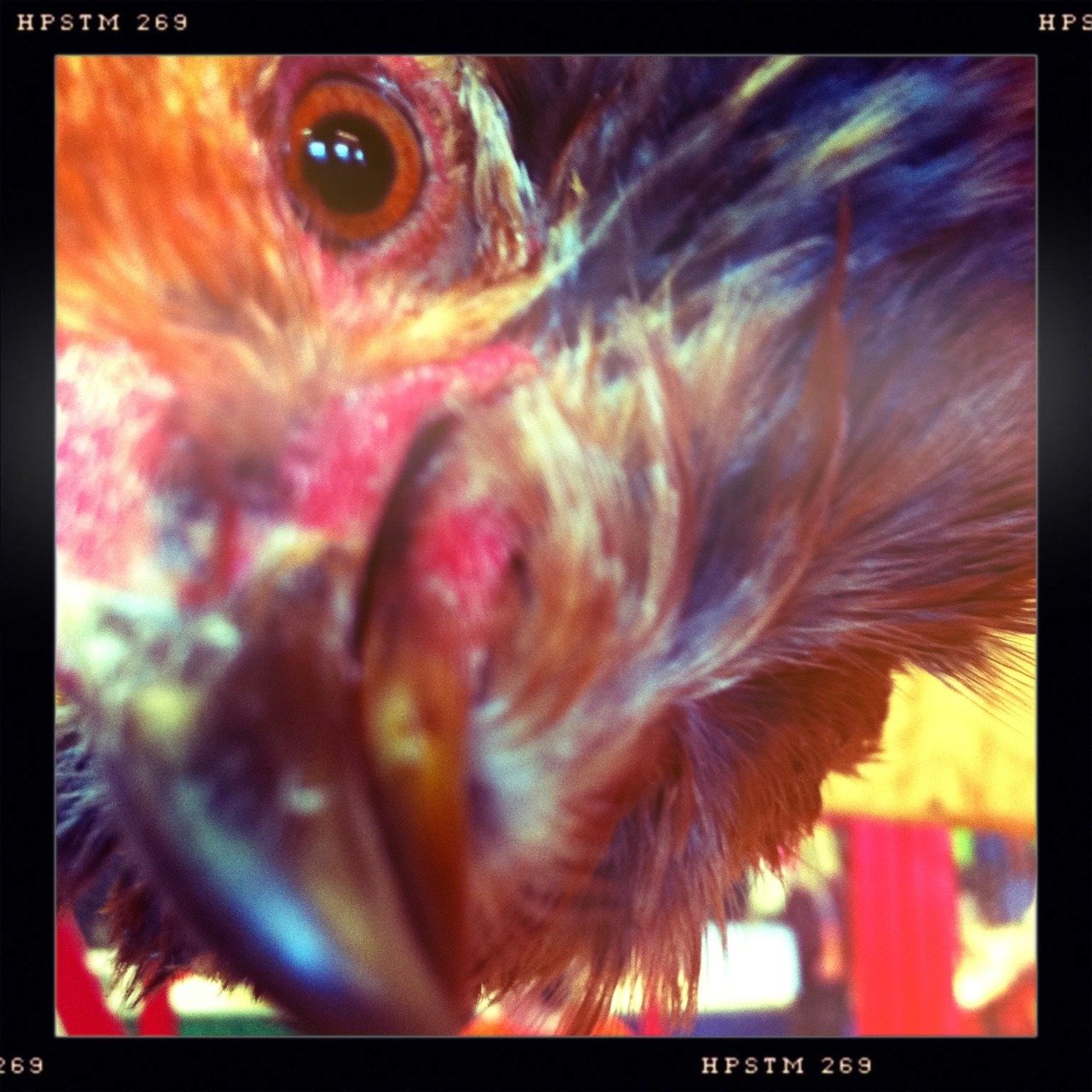 Pecking Rooster Taken with Hipstamatic, Chunky Lens, Pistil Film, No Flash.