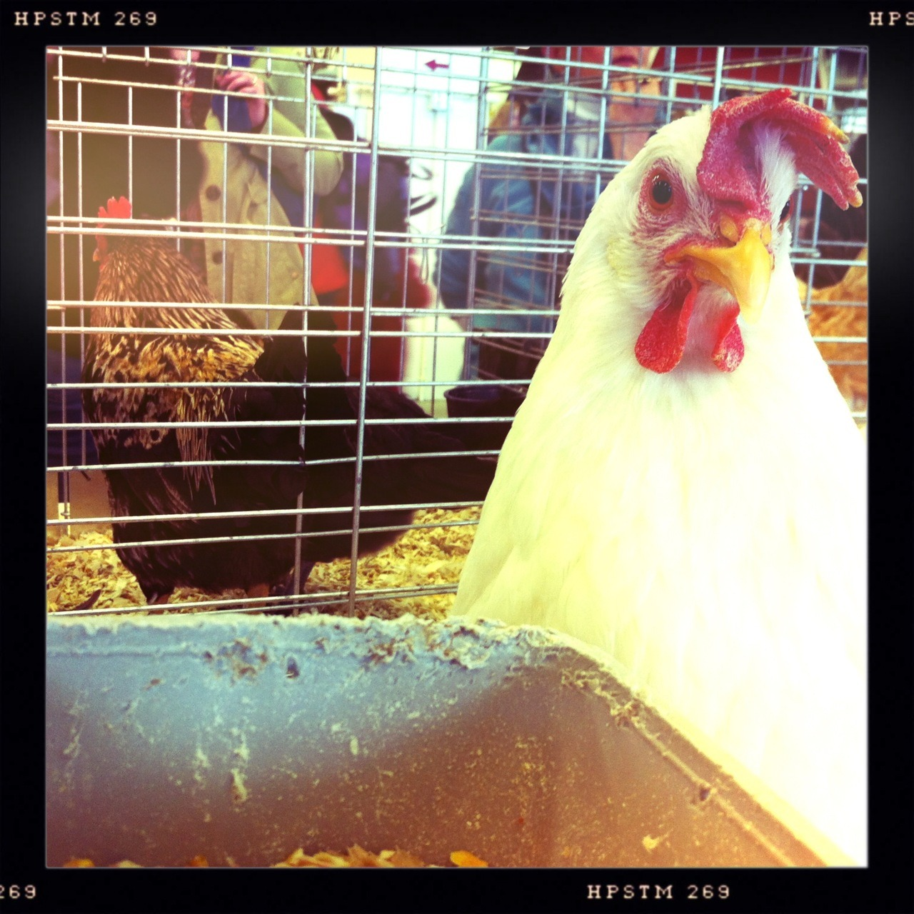 Suspicious Rooster Taken with Hipstamatic, Chunky Lens, Pistil Film, No Flash.