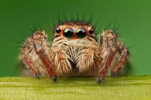 Alien, a jumping spider shotted by Alexander Zubrickij