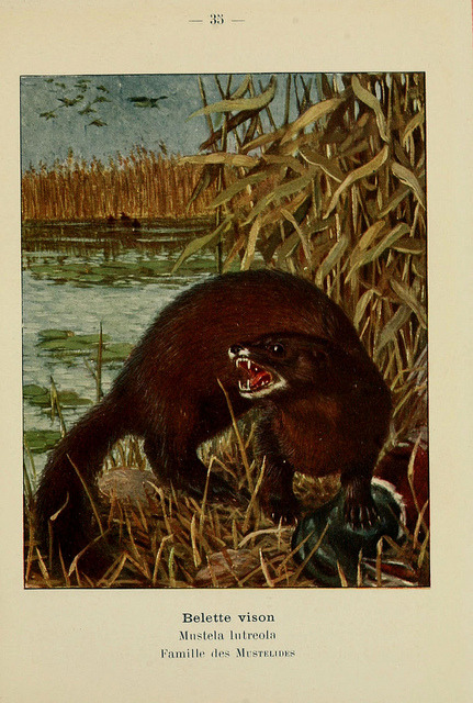 n118_w1150 by BioDivLibrary on Flickr. The American mink (Neovison vison)