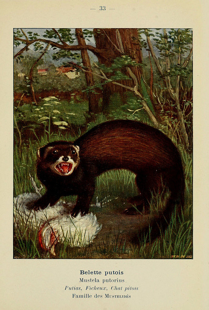 n112_w1150 by BioDivLibrary on Flickr. The European polecat (Mustela putorius)