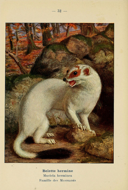 n107_w1150 by BioDivLibrary on Flickr. The stoat (Mustela erminea)