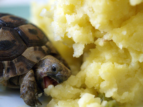 ilnemaimepasdutout:  Just a turtle eating mashed potatoes.