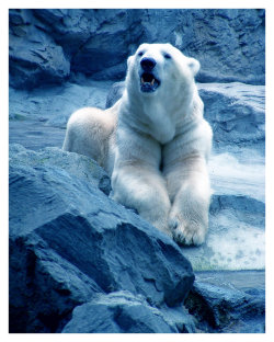 it's international polar bear day!