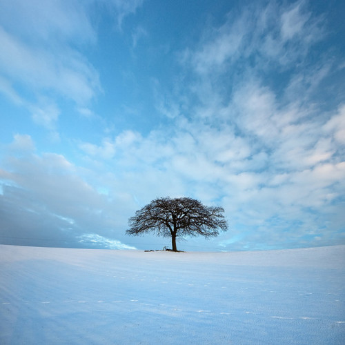lanciare:  tree, East Bridgford  by purefinder on Flickr.