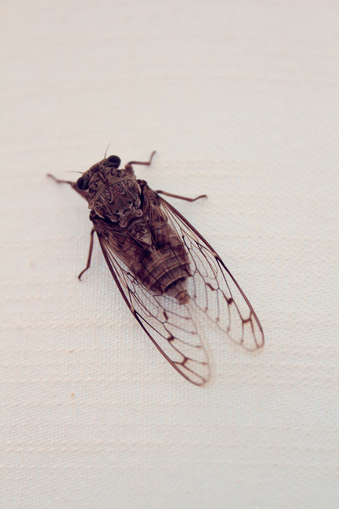 marybshch:  Cicada. by me I posted  this photo on flickr 2 months ago, and.. pfff 11 views.:D so.. maybe you'll like it..:)
