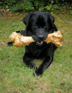 Submitted by Amy W: This is Benson Harvey, our black lab. My husband is in the U.S. Army and  we are currently living in Germany. Benson was adopted from a German  family a little over a year ago. He is currently 15 months and he is the  joy of our lives! Original Article