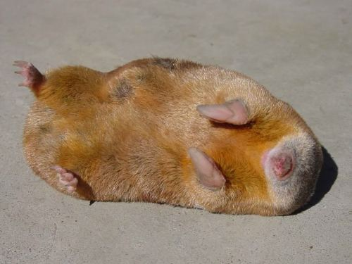 "Nature's One and Only Iridescent Mammal: The Golden MoleGolden Moles (Family: Chrysochloridae) are not true moles, but rather have converged evolutionarily on a similar body plan. Like other true moles the desert varieties of golden mole also don't construct burrows but rather appear to ""swim"" through sand. Another interesting fact is that they've also evolved such efficient kidneys that most species don't need to drink water. These African natives are also the only known mammal to display iridescence despite being blind. So what really is the point to this fellow's lustrous fur? It seems this is simply a quirk of the mole's hair and doesn't directly convey any advantage. The hairs themselves were found to be flattened with alternating scales of light and dark, this both gives the hairs a greater surface area to reflect light and the scale colouration refracted light just like oil on water. The actual reason for this structure is thought to be that it helps to repel dirt and water whilst also making the mole more streamlined. Regardless of what the reason is I really want a shiny, blind mole."