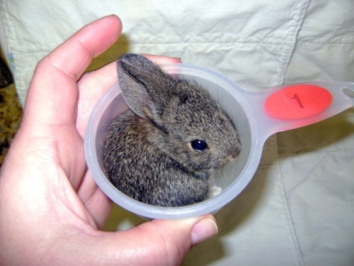 booksbeforebedtime:  TINY CUTE BUNNY, ZOMG WANT!!!! landofthoughtandflow:  thefluffingtonpost:  The Best Recipe for Cute Bunny Ingredients: 1 cup of Cute Bunny Simply add 1 cup of Cute Bunny. Serve at room temperature. Via The Daily Cute.  I NEED THIS IN MY LIFE.   OMG!! Cute Bunny!!!!!