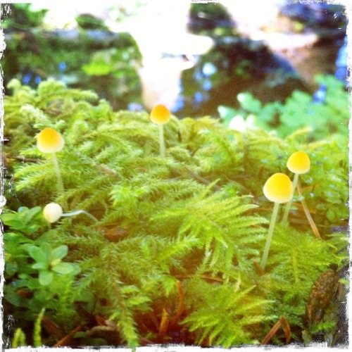 lunaalotus:  That one day, i found the cutest mushrooms.