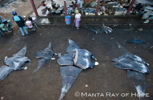 http://blogs.scientificamerican.com/extinction-countdown/2012/01/17/manta-rays-endangered-by-sudden-demand-from-chinese-medicine/ Demand for the gills of manta and mobula rays has risen dramatically in  the past 10 years for use in traditional Chinese medicine (TCM), even  though they were not historically used for this purpose, a team of  researchers from the conservation organizations Shark Savers and WildAid  has discovered.