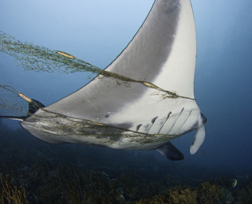 "http://news.discovery.com/earth/manta-rays-fate-worse-than-shark-120125.html As the population of sharks has depleted, fishermen are turning more  and more to Manta Rays - animals unfit, in the most Darwinian sense of  the word, to handle the pressure. Manta Rays take 10 years to reach maturity and females give birth to  ""a single pup every two to three years,"" ray researcher Mike Bennett of  the University of Queensland told ABC Science. By comparison, a Great White Shark, which is widely considered to be one  of the world's most vulnerable marine species, may produce as many pups  in one litter as a Manta Ray does over its entire lifetime."