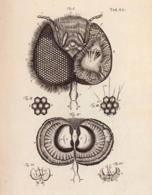 Head of a Bee, illustrated. Jan Swammerdam, The Book of Nature; Or, The History of Insects (1758).EngravingCambridge University Library (from a book formerly in the collection of Charles Darwin).