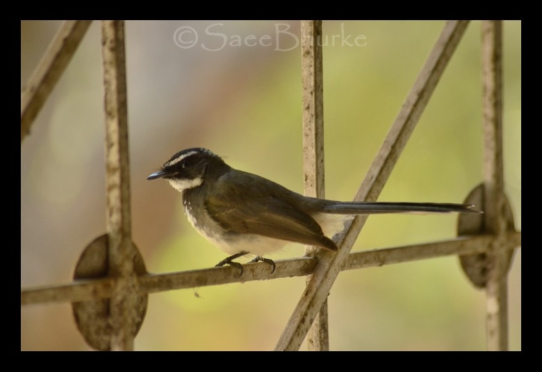 """ White-browed fantail flycatcher ""  January days, warming sunrays !day-dreaming stare & many thoughts to share,Foggy mornings, chilling afternoons,a 'flycatcher' is chirping in my bedroom !A favorite book in my handand mugful of hot chocolate in the other,Life can not get simpler than this,"" Oh dear birdie, what's there to bother??? """