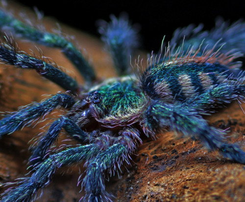 colorsoffauna: Amazon Sapphire Pinktoe Tarantula (Avicularia diversipes), juvenile with 1 inch legspan, species from Brazil (photo by papilio on Flickr)