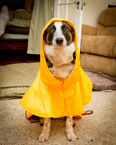 Humans tell me dogs don't mind rain, but I take safety and comfort in wet weather seriously. (by Jaymi Heimbuch)