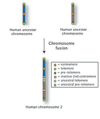 Chromosome 2: Two ChromosomesPossibly one of my favorite examples of why evolution is practically an unquestionable fact lies in a genetic novelty. As a large proportion of you will know, humans have 23 pairs of chromosomes. What less of you will probably know is that chimpanzees, gorillas and other members of family Hominidae (to which we also belong) all have 24 pairs of chromosomes. So where did that extra chromosome go? The answer lies in a quick glance at chromosome 2 which is the second largest human chromosome, storing 8% of all our genes. Chromosome 2 has several odd features such as the existence of the remnants of a second centromere along with extra telomeres (the regions at the end of a chromosome). The sequence of base pairs on chromosome 2 also corresponds almost exactly with two other chromosomes found in other members of hominidae which is fairly strong evidence for the fusion of two chromosomes at some point in our past. Chromosome 2 has also been linked to increased intelligence along with also being the chromosome that carries the genes for autism, synesthesia and amyotrophic lateral sclerosis (ALS) which is better known as the motor-neuron disease that Stephen Hawking has.