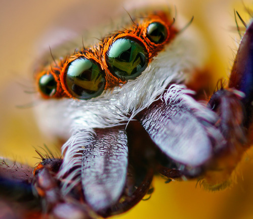 "cwnl:  Spiders Hunt With 3-D Vision  With their keen vision and deadly-accurate pounce, jumping spiders are the cats of the invertebrate world. For decades, scientists have puzzled over how the spiders' miniature nervous systems manage such sophisticated perception and hunting behavior. A new study of Adanson's jumping spider (Hasarius adansoni) fills in one key ingredient: an unusual form of depth perception.  Like all jumping spiders, the Adanson's spider has eight eyes. The two big ones, front and center on the spider's ""face,"" have the sharpest vision. They include a lens that projects an image onto the retina—the light-sensitive tissue at the back of the eye. That much is common in animal vision, but the jumping spider's retina takes things a step further: It consists of not one but four distinct layers of light-sensitive cells. Biologists weren't sure what all those layers were for, and research in the 1980s made them even more enigmatic. Studies showed that whenever an object is focused on the base layer, it is out of focus on the next layer up—which would seem to make the spider's vision blurrier rather than sharper.  That led to a ""long-standing mystery,"" says Duane Harland, a biologist who studies spider vision at AgResearch in Lincoln, New Zealand, and who was not involved in the new study. ""What's the point of having a retina that's out of focus?"" The answer, it turns out, is that having two versions of the same scene—one crisp and one fuzzy—helps spiders gauge the distance to objects like fruit flies and other prey.  Continue.."