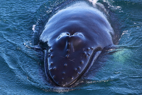 Can you identify a humpback by reading its bumps like braille? cetaceansensation:  humpback by roblind.com on Flickr.